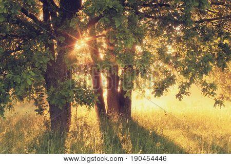 Oak trees in sunlight. Summer morning scene with sun beams. Misty sunny morning landscape.