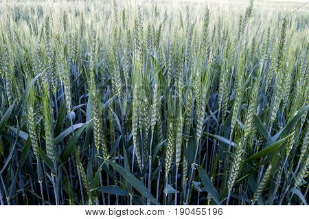Green wheat ears, immature wheat ears, green wheat fields