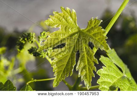 Immature tiny grapes, grape leaf, grape leaf and grape fruit pictures