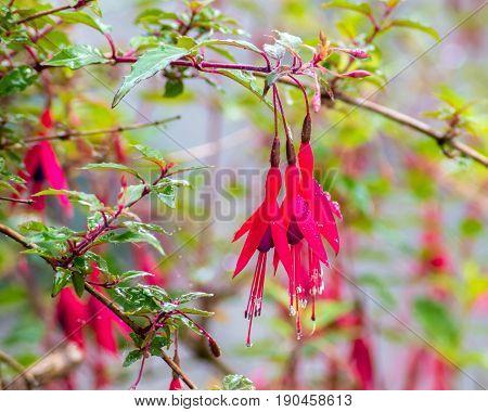 Wet red fuchsia after a sudden rainfall
