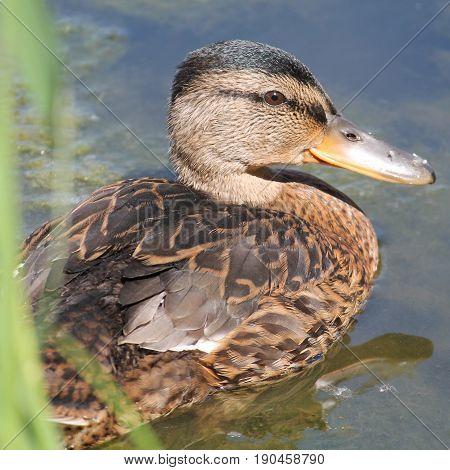 Young mallard or wild duck (Anas platyrhynchos)