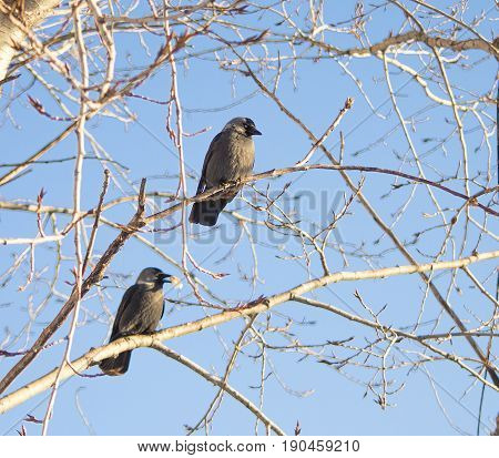 Crows on branches on the street branches