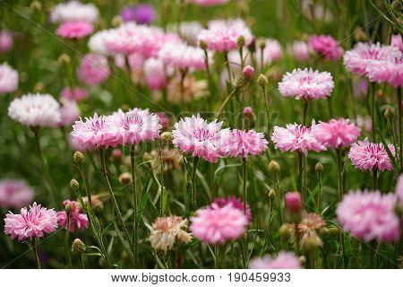 Beautiful pink cornflowers in green summer garden