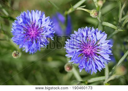 Blue cornflowers close-up in garden top view