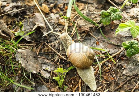Snail In Nature. A Lone Snail. Crawling Snail.