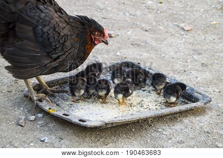 Chicken and tiny chicks, black broodstock and black pups, tiny chicks fed, natural chicken chicks