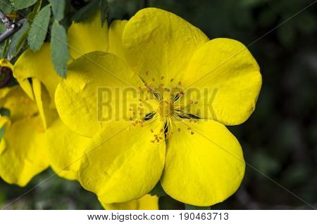 Natural white and yellow rosehip flower, natural flowers rosehip tree