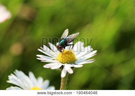 Fly fetches nectar from daisies, insect, nature, macro