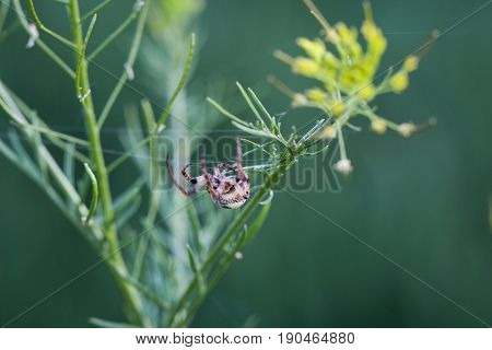 a Crossbone spider, Spider web, nature, macro, spiders