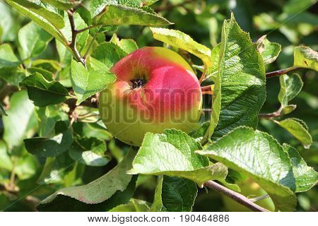 Apple ripening on an apple tree in an orchard