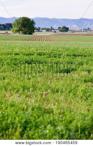 alfalfa field with corn field rows behind it