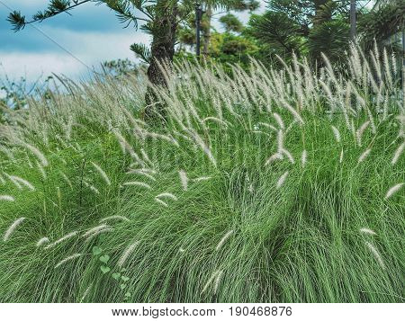 White Poaceae Or Grass Flower With Blue Sky And Forest Background.