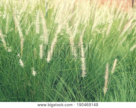 White Poaceae Or Grass Flower On The Field With Sunlight.