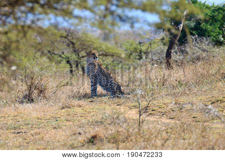 Cheetah Close Up From South Africa
