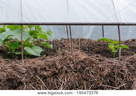 Cucumbers On A Bed. Cucumber Sapling. The Young Cucumber Grows On A Bed.