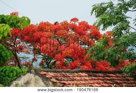 Flamboyant Flowers Blooming In Summer