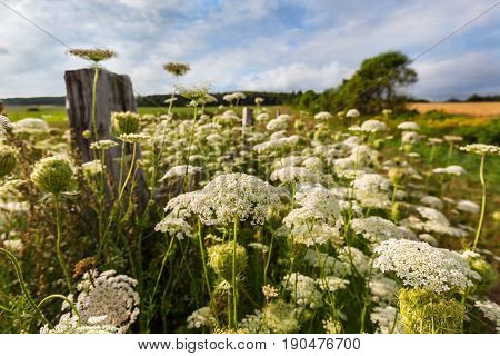 Queen Anne's lace, a North American wildflower, growing in rural America.