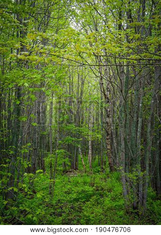 Early spring in a deciduous forest of maple, birch and beech.