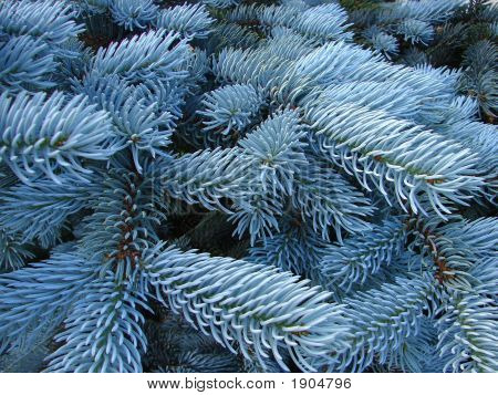 Blue Spruce Background