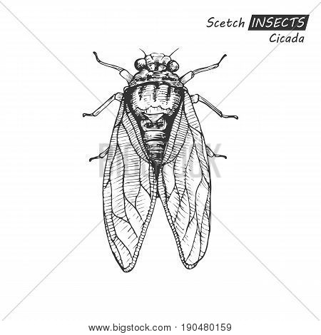 Hand drawn ink scetch of sketch isolated on white background. Vector illustration. Drawing in vintage style.