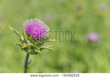 Purple flower of the Milk thistle (lat. Carduus marianus L. Mariana mariana Hill) on the plantation close-up; raw material for medicament for the liver