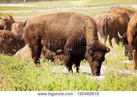 Grazing bison in front of herd of bison