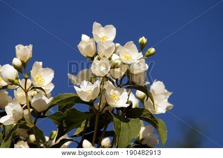 Bush branch with white flowers of jasmine. White aroma flowers of jasmine on blue sky background.