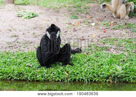 Close up Siamang Gibbon drinking water with hand