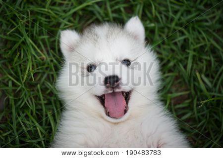 Close up of siberian husky puppy on green grass