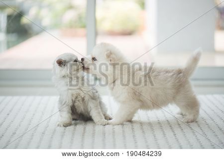 Cute kitten and puppy playing together in room
