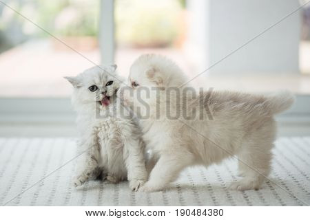Cute kitten and puppy playing together in the room