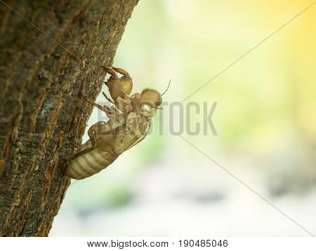 Slough off the cicada's golden shell hold on tree bark