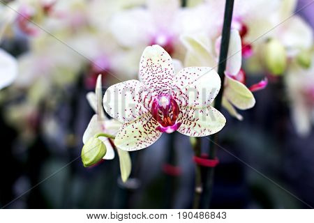 Beautiful Orchid Flowers In The Garden