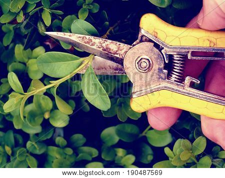 Gardener Trimming Bush. Cut Of Bended Twig