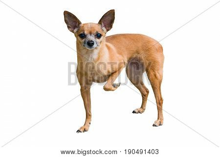 Pet little brown dog Terrier isolated on a white background, tucked one paw