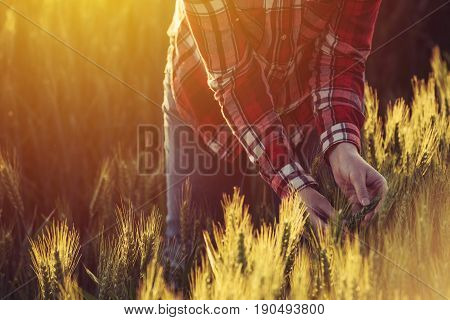 Agronomist examining ripe wheat crop spikelets in cultivated agricultural field