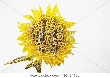 Abstract Field of sunflowers . Close up of sunflower against a field isolated on white