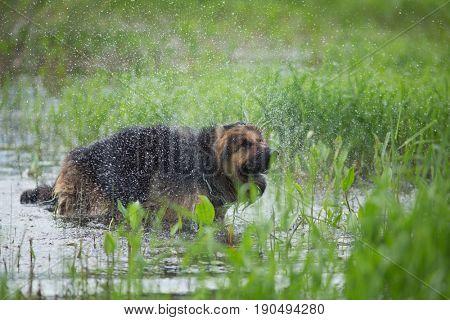 German shepherd dog shaking off water outdoor in lake