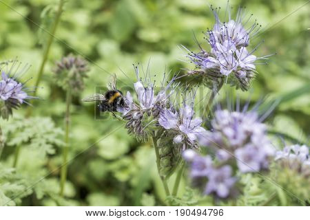 bumblebee closeu bumble bee on Phacelia tanacetifolia honey plant for bees and other insect
