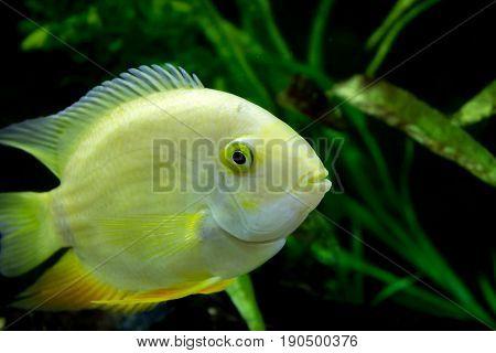Female Golden Severum cichlid swimming Heros severus