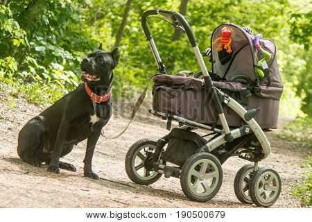Baby carriage and big black guardian dog in the forest park