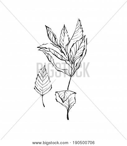 Mint brunch hand drawn vector drawing set. Isolated mint plant and leaves. Herbal engraved style illustration. Detailed organic product sketch. Cooking spicy ingredient