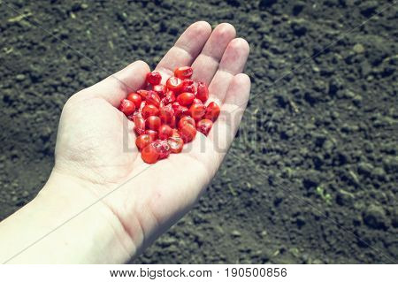 Farmer hand with corn maize seed above ploughed arable agricultural soil ground. Agricultural concept.