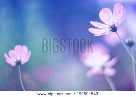 Flowers cosmos with gentle shades, soft and selective focus