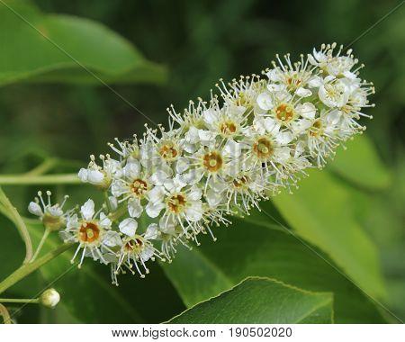 The decorative white flowers of Prunus serotina also known as wild or mountain black cherry.