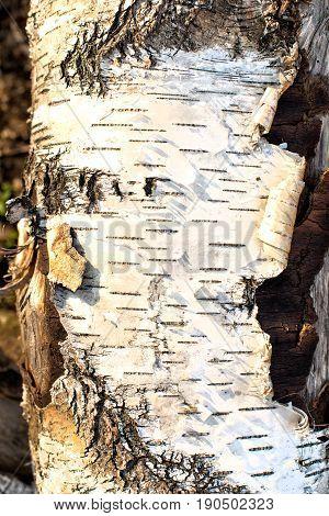 close up photo of birch bark nature texture concept