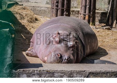one large, adult hippopotamus sleeps on a concrete floor covered with straw in a zoo, eyes are closed, a sunny day, the animal lies in the sun, bask in the sun,