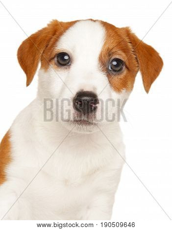 Close-up Of Jack Russell Terrier