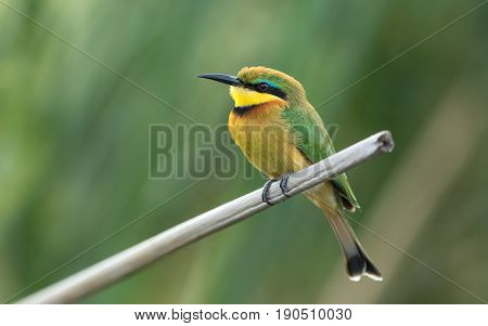 Little Bee eater on a reed perch at the Chobe River in Botswana