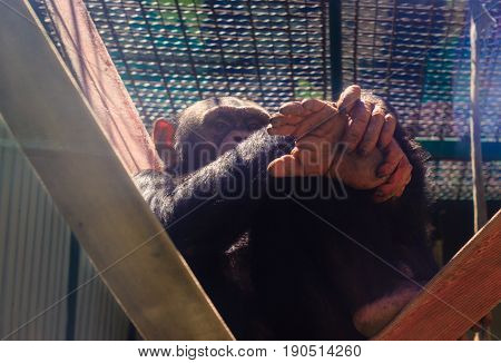 Chimpanzee sits on belts clasping his foot covering half of the muzzle with his hand looking into the lens